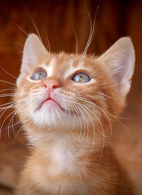 En jättesöt orange tabby kattunge som tittar upp.
