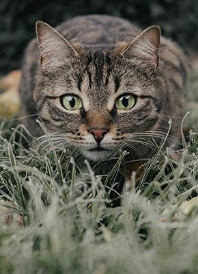 En katt i frostigt gräs på jakt efter byte.