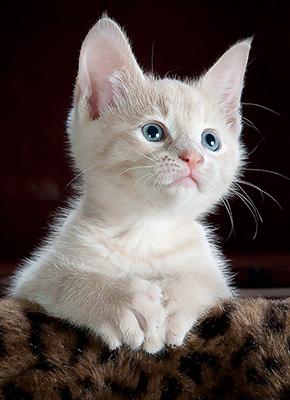 En jättesöt vit kattunge.